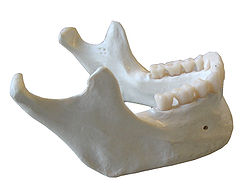 Croissance de la mandibule (exhaustive)